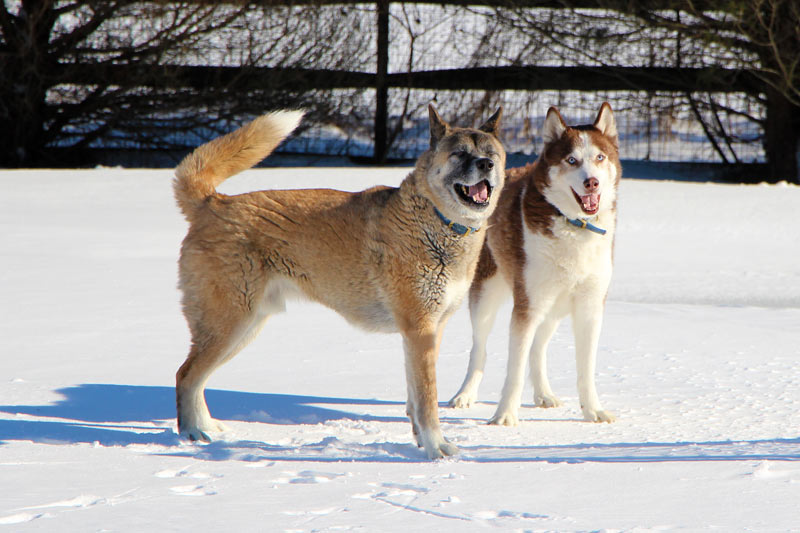Northern breed dogs