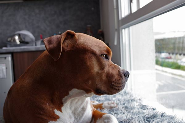 Pitbull gazing out the window.