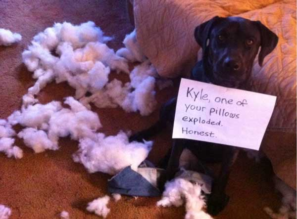 Shamed dog after chewing up pillow.
