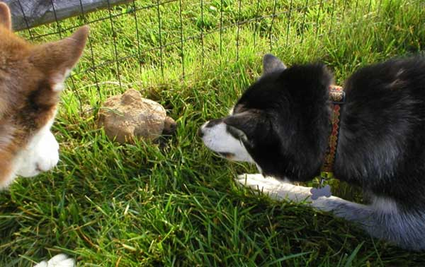 Curious huskies about a turtle.