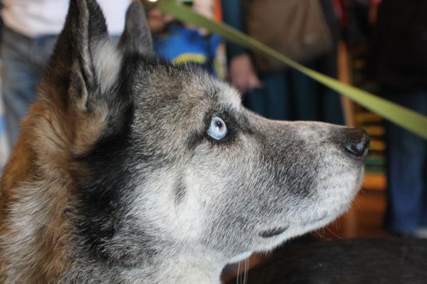 Ella, the Siberian Husky/ Cattle Dog mix.