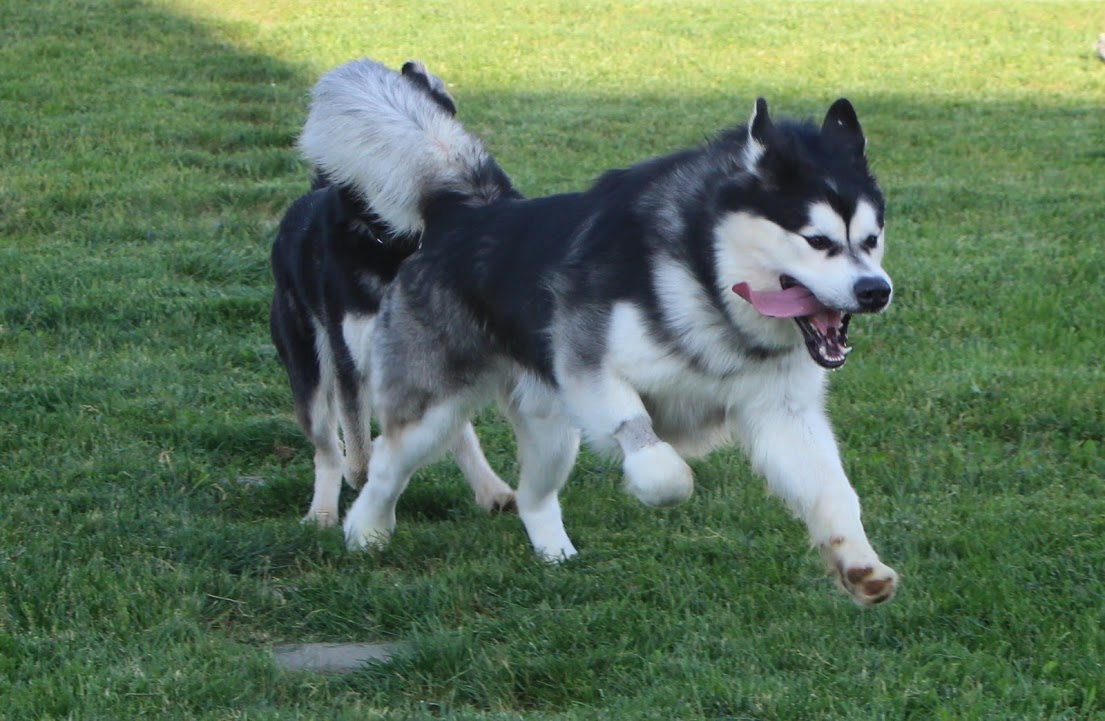 Baloo is a one year old Alaskan Malamute full of energy!
