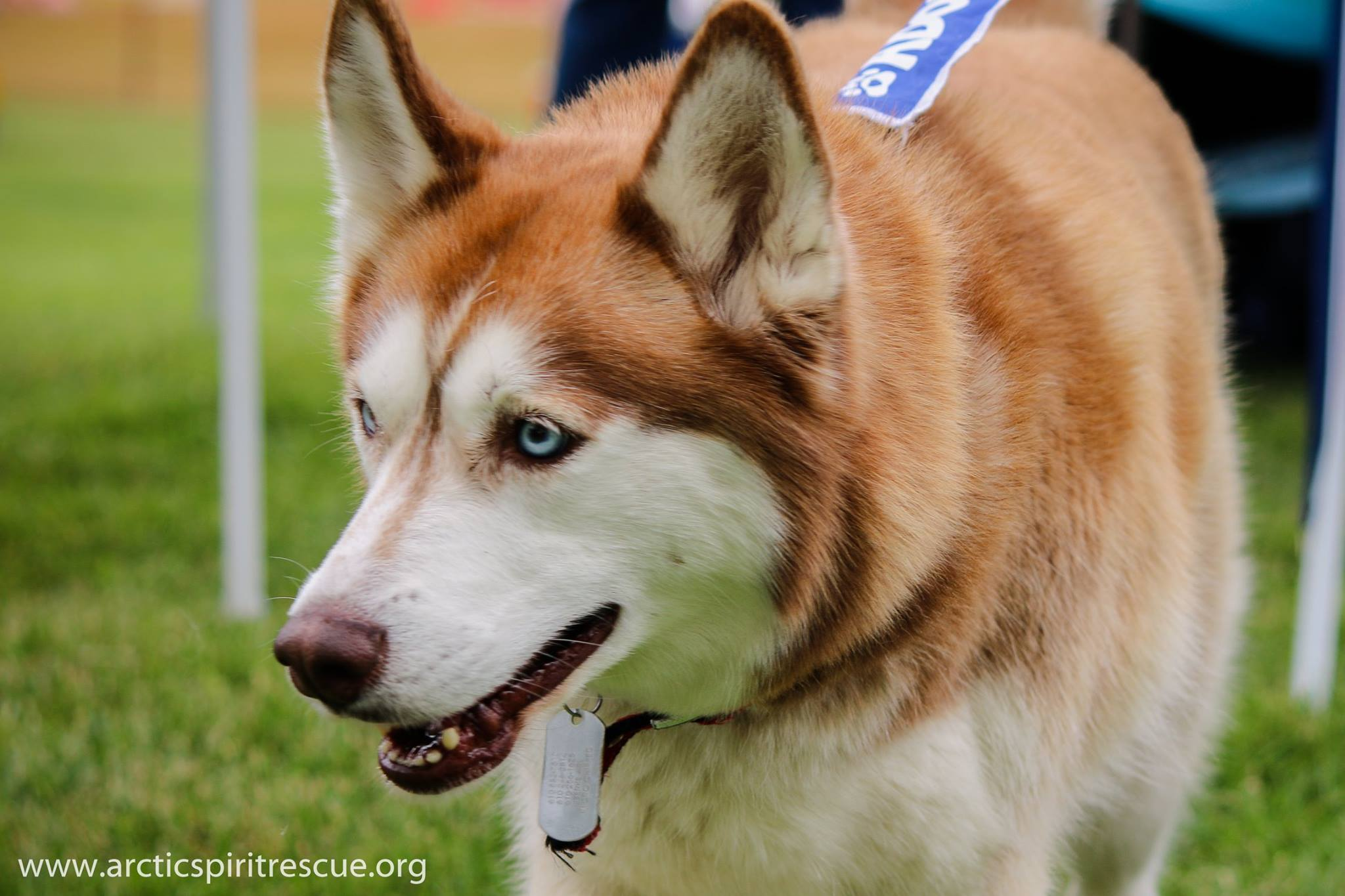 Tamika is a red and white 7 year old female Siberian Husky.