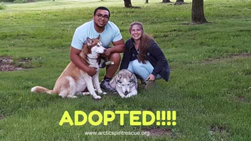 Tamika the red & white Siberian Husky was adopted into her forever home!