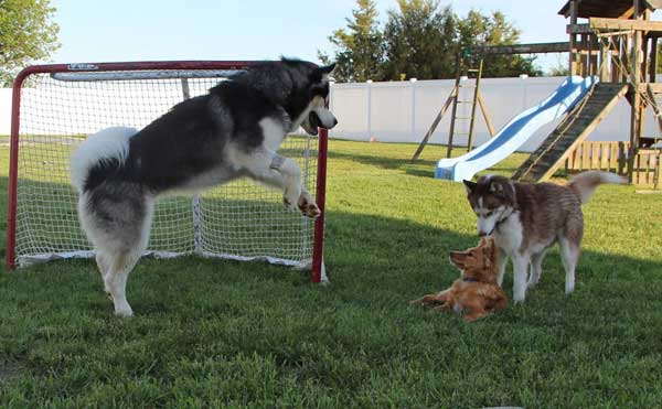 Baloo the Alaskan Malamute, playing with his new fur family!