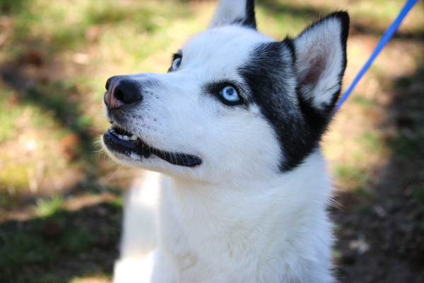 Beautiful blue eyed husky!