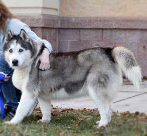 Meet Phoebe: A 12 year old female black and white Siberian Husky.