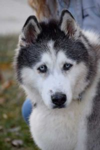 Phoebe is a senior black and white female Siberian Husky.