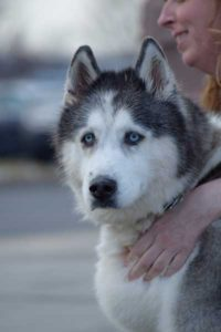 Phoebe is a new addition to Arctic Spirit Rescue.