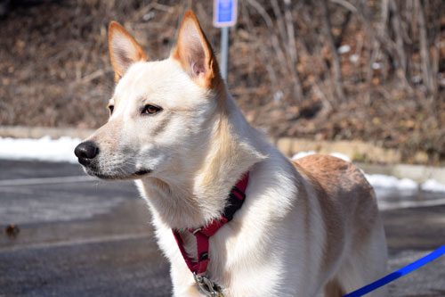 Meet Petty the Siberian Husky Cattle Dog mix!
