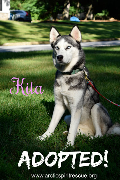 Kita the beautiful Siberian Husky was adopted!
