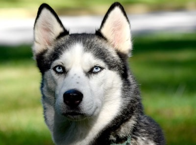 Kita is a beautiful female Siberian Husky available for adoption!