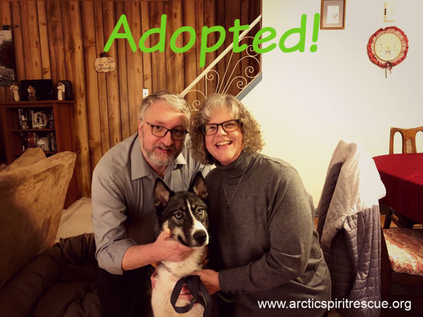 Apollo the handsome Siberian Husky / German Shepherd mix found his forever home!