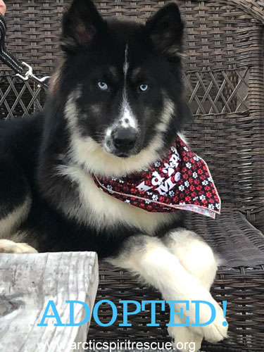 Barrett the Siberian Husky / German Shepherd mix found his forever home!
