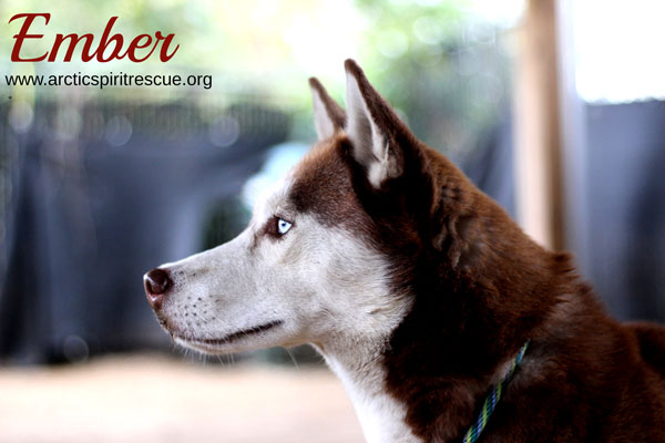 Ember is a beautiful young red & white Siberian Husky who's looking for her forever home!