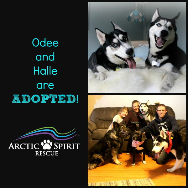 Odee and Halle the Siberian Huskies found their forever home together!