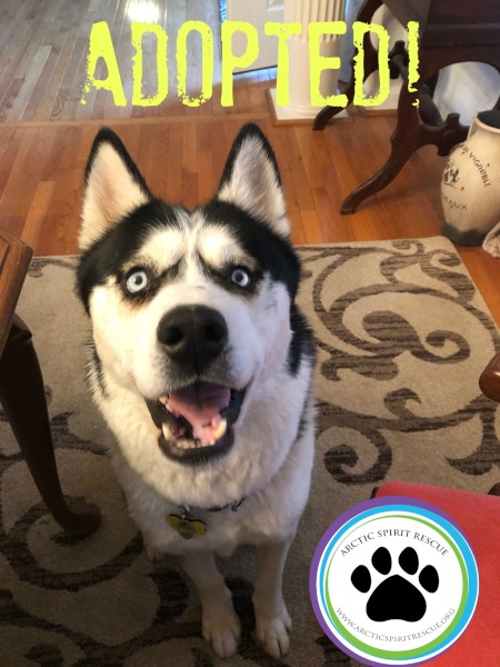 Ace the Siberian Husky found his forever home!