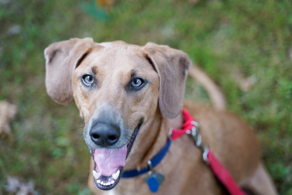 Legend the Weimaraner Lab Mix available for Adoption!