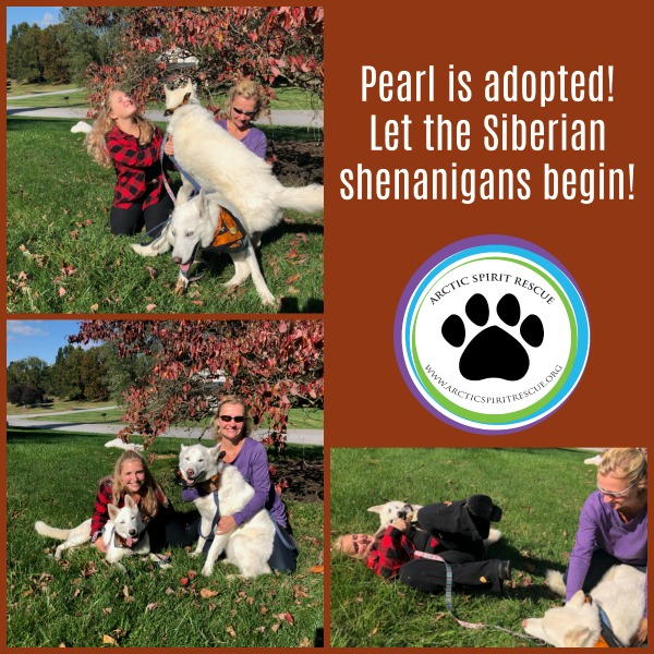 Pearl the white Siberian Husky is adopted!