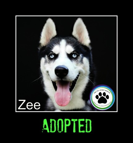 Zee the black and white Siberian Husky has been adopted!
