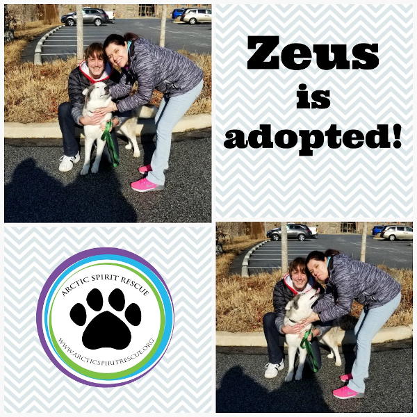 Zeus the Siberian Husky was just adopted into his forever home!