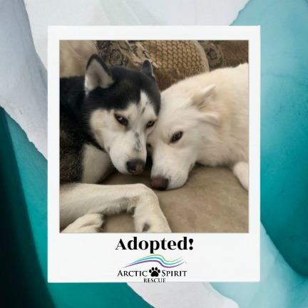 Apollo the Samoyed Husky Mix was recently adopted!