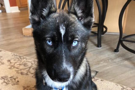 Hailey is an adorable 3 month old Siberian Husky Mix!