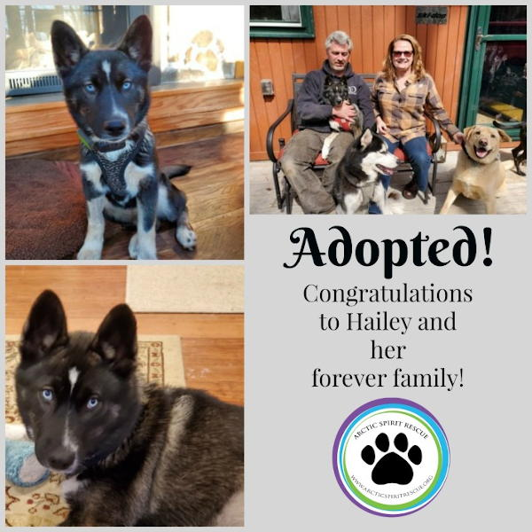Hailey the Siberian Husky mix was adopted!