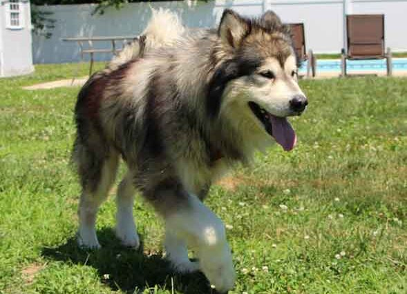 Bear the Alaskan Malamute is available for adoption!