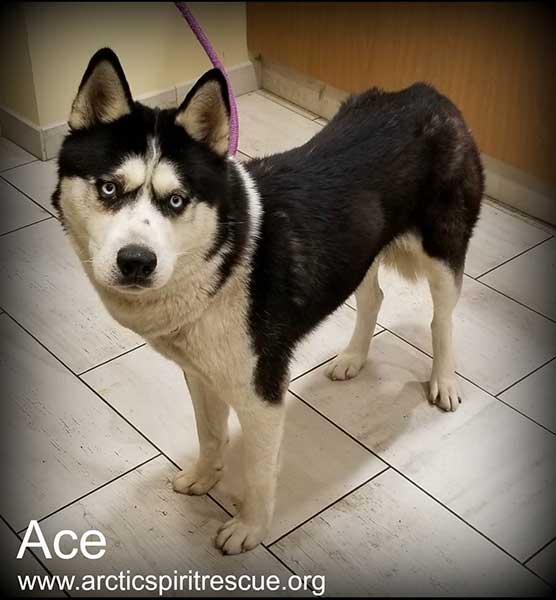 Ace is a young male Siberian Husky.
