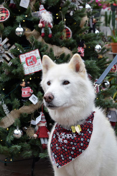 Juneau the all white Siberian Husky is a handsome boy!