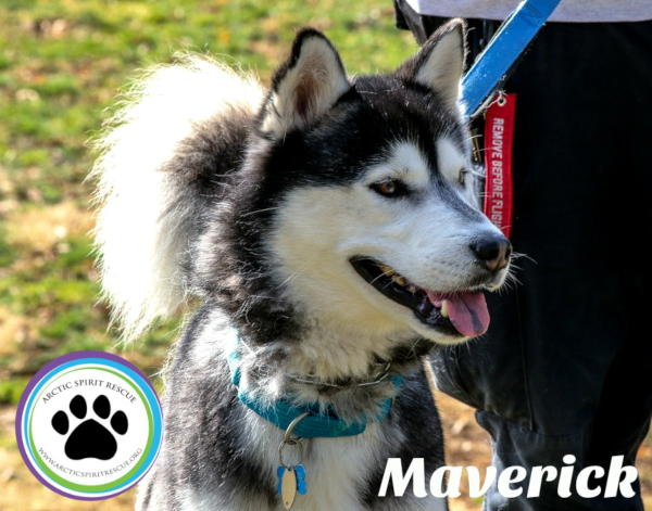 Maverick is a 4 year old black & white male Siberian Husky.