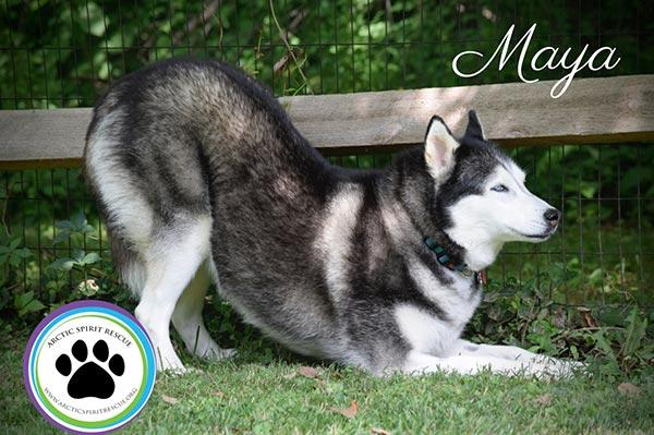Maya-Siberian-Husky-2