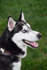 Al the black and white Siberian Husky