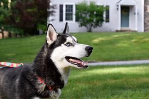 Al is a young black and white Siberian Husky for adoption in the Greater Philadelphia area.