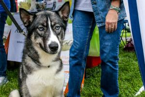 Apollo is a strikingly handsome Siberian Husky / German Shepherd Mix available for adoption in Pennsylvania.