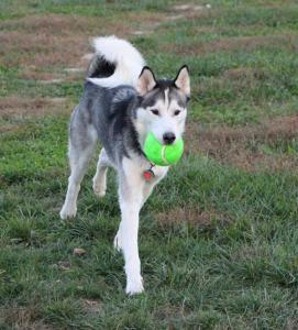 Axl the Siberian Husky loves playing!