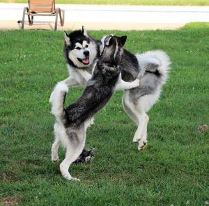 Axl the Siberian Husky playing with his Alaskan Malamute friend Baloo.