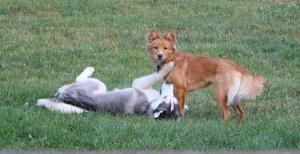 Axl the Husky loves playing with other dogs.