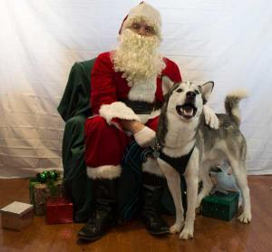 Axl the Siberian Husky getting a photo with Santa!