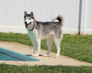 Axl is an alert Siberian Husky.