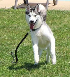 Axl, the Siberian Husky, is always up for play!