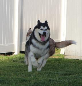 Baloo is a 1 year old Alaskan Malamute full of life and energy!