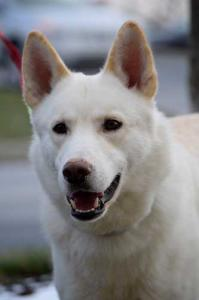 Banner is a Siberian Husky / German Shepherd Mix looking for his forever home.
