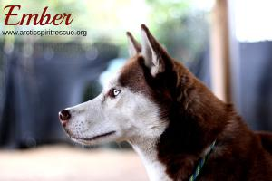 Ember's such a stunning red & white Siberian Husky that's up for adoption!