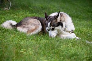 Husky/Collie mix lounging in the grass.