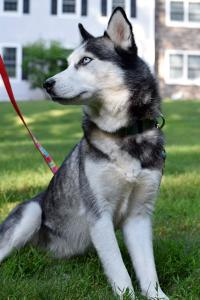 Kita is a beautiful female Siberian Husky looking for her forever home.