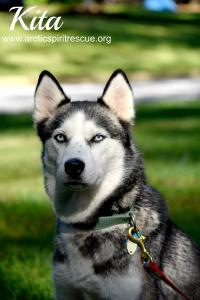 Kita is a beautiful female Siberian Husky available for adoption.