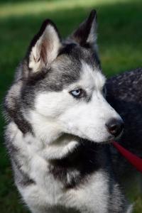 Kita's a stunning female Siberian Husky.