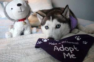 Luna the Husky's such a sweetheart. Want to add her to your family?